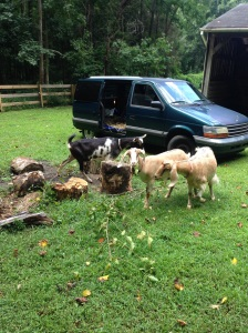In an old minivan with lots of straw and no back seats, our new goats arrived in style