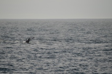 Fluke of a juvenile male humpback whale